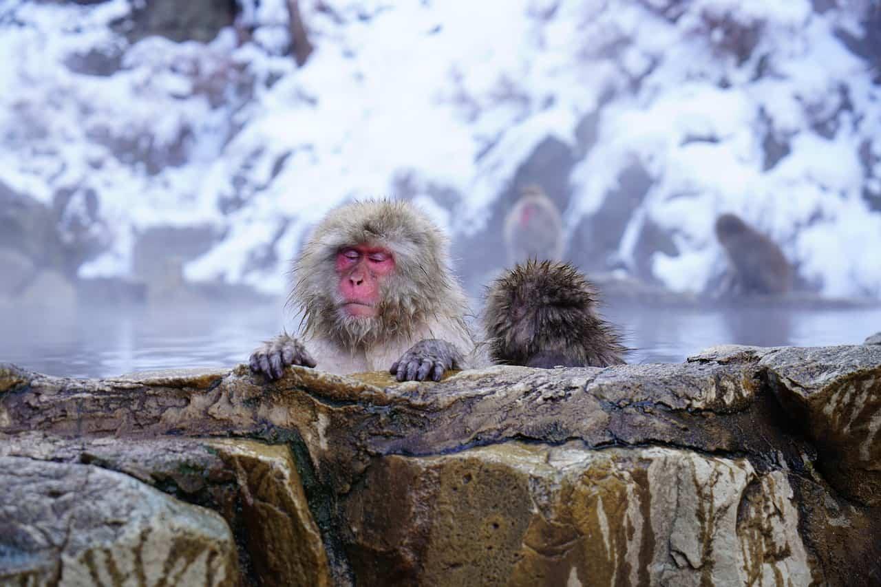 Jigokudani monkey park. Nagano, Japan.