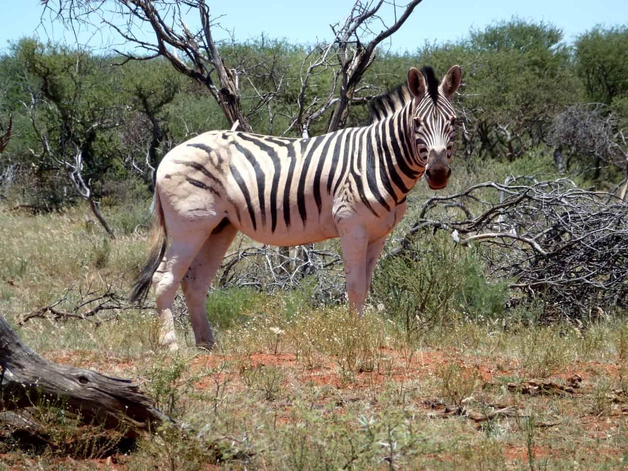 zebra near log and bush